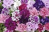 Just Seed Petunie, Double-Pirouette-Mischung, Blumen, 30 pilletierte Samen