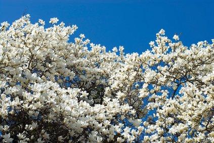Magnolie Grandiflora – 5 Samen