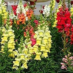 Vista Seltene Bunte Snap Flower gemischt Antirrhinum Majus, 50 Samen Indoor Topfpflanze, Lange Blüte Leuchten Ihren Garten 16