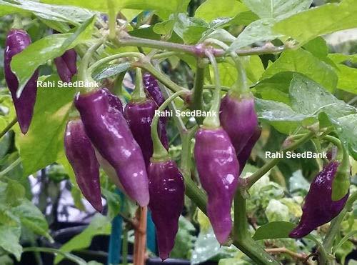 Preisvergleich Produktbild AGROBITS Condor ist Schnabel Chilli - eine längliche Form,  Esotisch,  Rare & Uncommon Habanero Pepper !! !