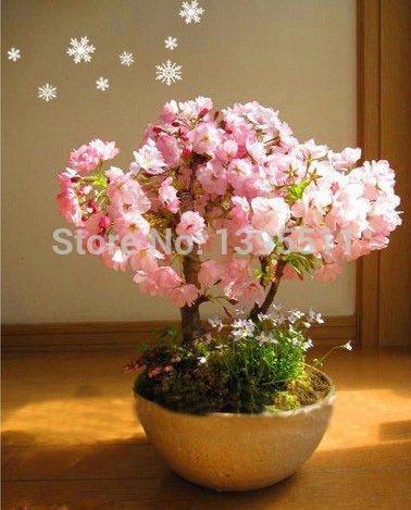 2 Bonsai semi 20 fioriture di ciliegio semi e 20 acero per rendere il vostro bonsai solo $ 2,11