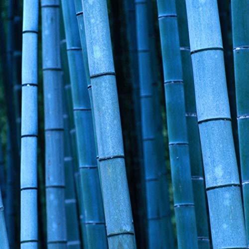 na Moso Bambus Samen Bunte Riesenbambus Samen schnelles Wachstum winterharte Pflanze für Garten Haus (20 Stk, Blau) ()