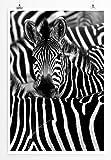 Eau Zone Home Bild - Tierbilder – Zebra in seiner Herde- Poster Fotodruck in höchster Qualität