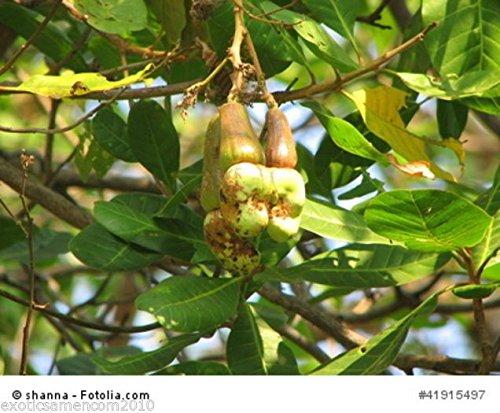Anacardium occidentale Kaschubaum Cashewbaum 3 Samen