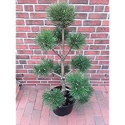 Pinus nigra nigra - PonPon, Höhe: 110-120 cm Gartenbonsai, Kiefer-Bonsai + Dünger