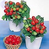 Pinkdose Bellfarm Bonsai Tomate cerise rouge ronde de fruits savoureux Les plantes d'intÃrieur jardin maison de tomate naine haute -100pcs Germination/Pack