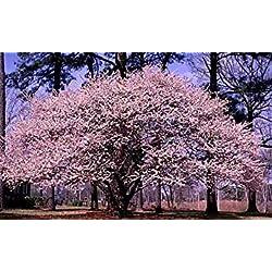 Elitely Bonsaisamen 5 von Pr01 Myrobalan-Kirschpflaume (Prunus Cerasifera), Bonsaisamen
