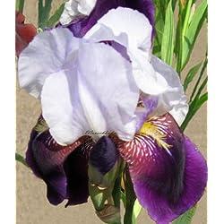 Staudenkulturen Wauschkuhn Iris barbata elatior 'Helen Collinwood' - Hohe Bartiris - Staude im 11cm Topf