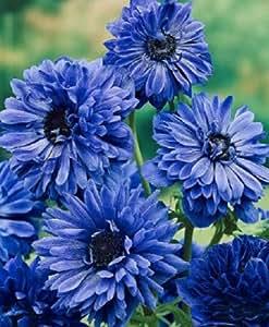 ANEMONES LORD LIEUTENANT à fleurs doubles - 26 BULBES +++++++++++++++++++++++++