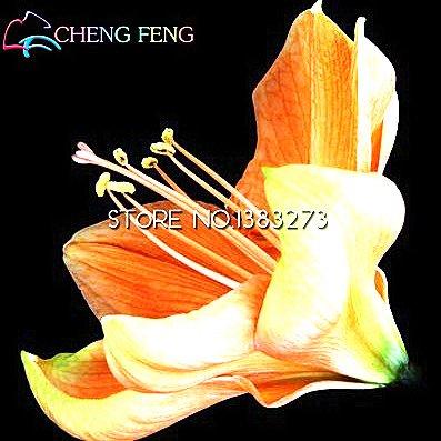 * 100pcs Graines de Rainbow Hippeastrum Belles graines de fleurs Le 95% Jardin des plantes en herbe Tarif pour le cadeau Enfants