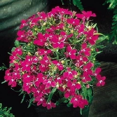 Hängendes Männertreu rot 500 Samen (Lobelia Cascade