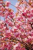 Posterlounge Alu Dibond 20 x 30 cm: Japanische Zierkirsche, Japanisch, Kirschblüten, Kirsche, Blütenpracht von Nora Frei/Mauritius Images