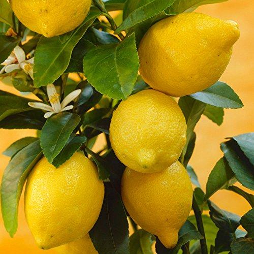 TOPmountain Zitronenbaum Samen 10 Stück Home Indoor Outdoor Obst Pflanzensamen Garten Balkon Pflanzen Samen Dekor