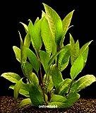Wasserflora Kirschblatt - Riesenwasserfreund
