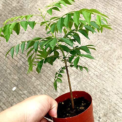 pittospwer Curry Leaf 100 Piezas Decoraciones De Jardín Al Aire Libre Plantas Aromáticas Culinarias De La Planta De árbol De Semilla De árbol 1