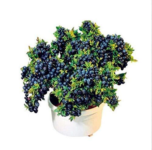 100 pezzi piante di mirtillo bonsai frutta purify airtree alta raccolto mirtilli bonsai per la casa e il giardino facile da coltivare: 4