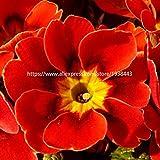 HONIC 100 Pezzi Europa Primrose Fiore Bonsai Piante Primula Reale Sera Bonsai Fiore per Le Piante da Giardino di casa: 7