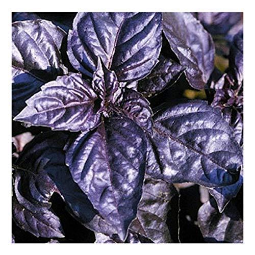 Basilikum Red Rubin improved - rot/blau - sehr aromatisch - 100 Samen