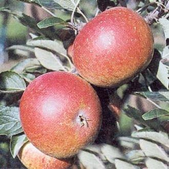 Apfel Aufrechter und gut verzweigter Wuchs