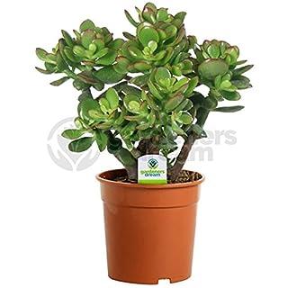 Crassula Ovata - 1 Plant - House/Office Live Indoor Pot Money Penny Tree in 12cm Pot