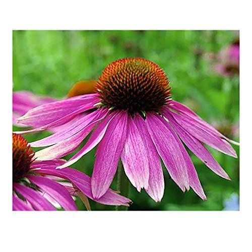 Preisvergleich Produktbild Hemore 100 + organische Echinacea purpurea lila koneflower Samen gesundes Dauer Kraut