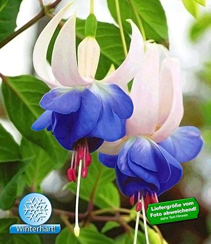 BALDUR-Garten Winterharte Fuchsien 'Blue Sarah', 3 Pflanzen Fuchsia
