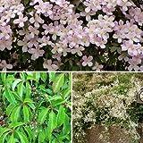 Kletterpflanzen Set - 3 Pflanzen - Clematis WilderWein Knöterich