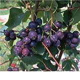 Felsenbirne Busch-Baum Smokey süß-aromatisch 80-100 cm blau-schwarzes Beerenobst Wildobst 1 Pflanze