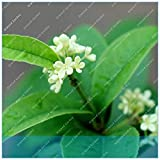 IDEA HIGH Seeds-ZLKING Indischer Lorbeer Calophyllum Inophyllum 10pcs Poon Alexandrian Lorbeer Baum Borneo-Mahagoni Strand Calophyllum