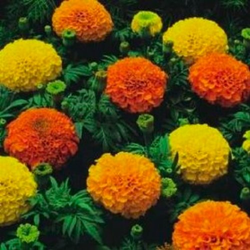 premier-seeds-direct-13-s0oz-hqod-african-marigold-crackerjack-mixed-flower-seeds-pack-of-500