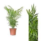 Inter Flower - 1 StückBergpalme 60cm+/- Chamaedorea elegans Arecaceae - Palmengewächse