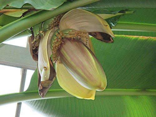 Musa basjoo: Japanese fiber banana (English Edition)