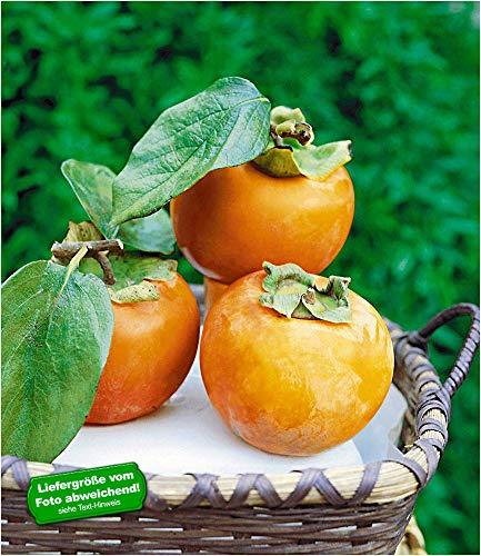 BALDUR-Garten Winterharte Kaki, Sharon-Frucht 1 Pflanze Diospyros kaki
