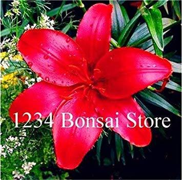 100 pz giglio bonsai rare lilium brownii fiore piante in vaso fiore plantas per la casa e il giardino ornamentale delle piante purificano l'aria: 23