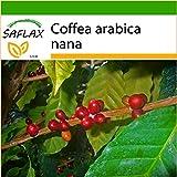 SAFLAX - Pianta di caffè - 8 semi - Con substrato - Coffea arabica nana