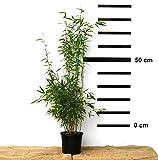 Schwarzer Bambus - Fargesia nitida Black Pearl, winterhart und schnell-wachsend, 70-90 cm hoch für Schwarzer Bambus - Fargesia nitida Black Pearl, winterhart und schnell-wachsend, 70-90 cm hoch