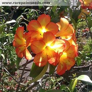 Rhododendron sp. (Orange x Salmon Hybrid) Vireya ca 25 Samen -Sehr selten-