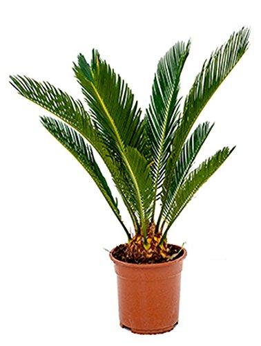 Palmfarn beliebte Zimmerpflanze für die Fensterbank Cycas revoluta 1 Pflanze 50-60 cm im 17 cm Topf von Redwood