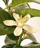 Cross Common Nursery Citrus Lemon Tree