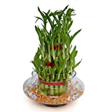 #3: Exotic Green 3 Layer Lucky Bamboo