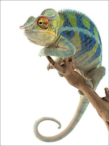 Artland Qualitätsbilder I Wandtattoo Wandsticker Wandaufkleber 60 x 80 cm Tiere Wildtiere Reptilien Foto Weiß A5TP Ambanja Panther Chamäleon (Chamäleon-hintergrund)