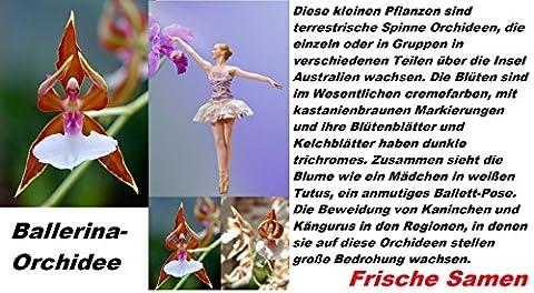 25x Ballerina Samen Hingucker Saatgut Blumensamen Pflanze Rarität Blume sehr seltene Zimmerpflanze Neuheit #95