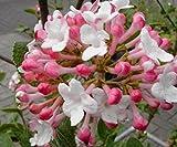 Korea-Duftschneeball - Viburnum carlesii - Aurora - kugeliger Wuchs, pflegeleicht, kleinbleibend - 30-40 cm