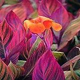 Canna Samen - 50 Samen Indisches Blumenrohr Mehrere Farben Wunderschön Blumen Gartendekoration Typ 1