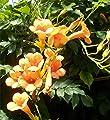 3 Stück Campsis radicans 'Flava' - (Gelbe Trompetenblume 'Flava'), Containerware 60-100 cm von Baumschule Biermann auf Du und dein Garten