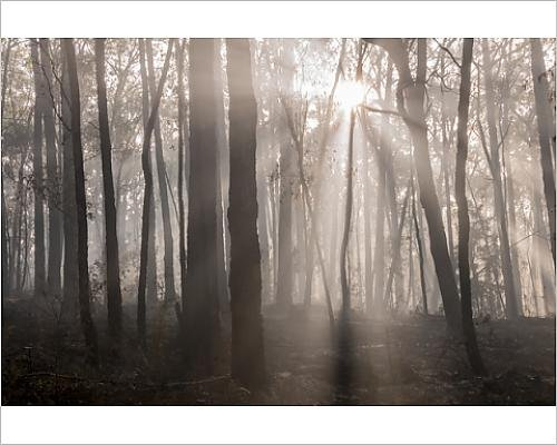 photographic-print-of-sun-rays-in-morning-fog-in-a-burnt-trunks-area