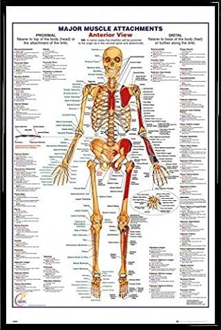 Poster Anatomie - Anatomie Poster et Cadre (Plastique) - Major