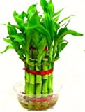 #6: Green plant indoor 2 Layer Lucky Bamboo Plants