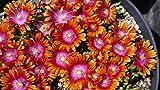 Kakteengarten 6 verschiedene winterharte Mittagsblumen/Delosperma im Set -9cm Topf