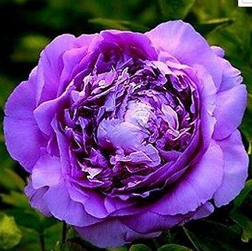 Nouvelle arrivée! Une variété de couleurs rares graines Pivoine chinoise plantation de fleurs et jardin Paeonia Suffruticosa Seeds 20 PCS G58 Violet